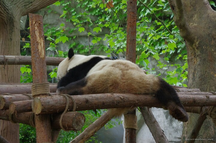 Even though pandas look clumsy and move funny, they are surprisingly relaxed when it comes to impossible splits and movements