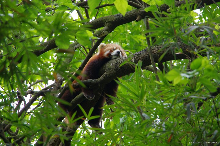 Lazy red panda is lazy, and indeed, deep down they are cats