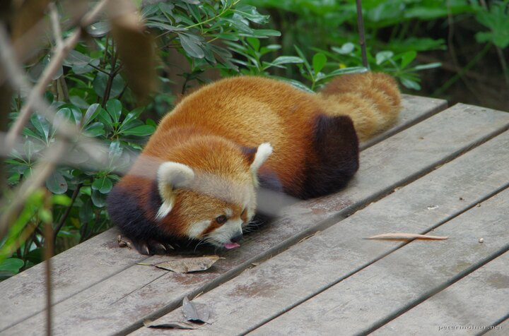 Is it safe? I don't know, lick it! - thoughs of a red panda before laying down