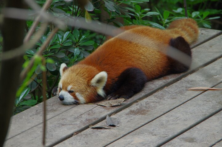 Yes, it's safe - thought the red panda, and layed down