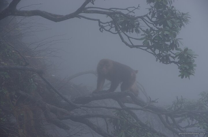 Pack lead monkey at Mount Emei