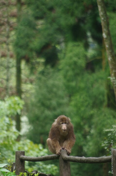 Monkey at Mount Emei