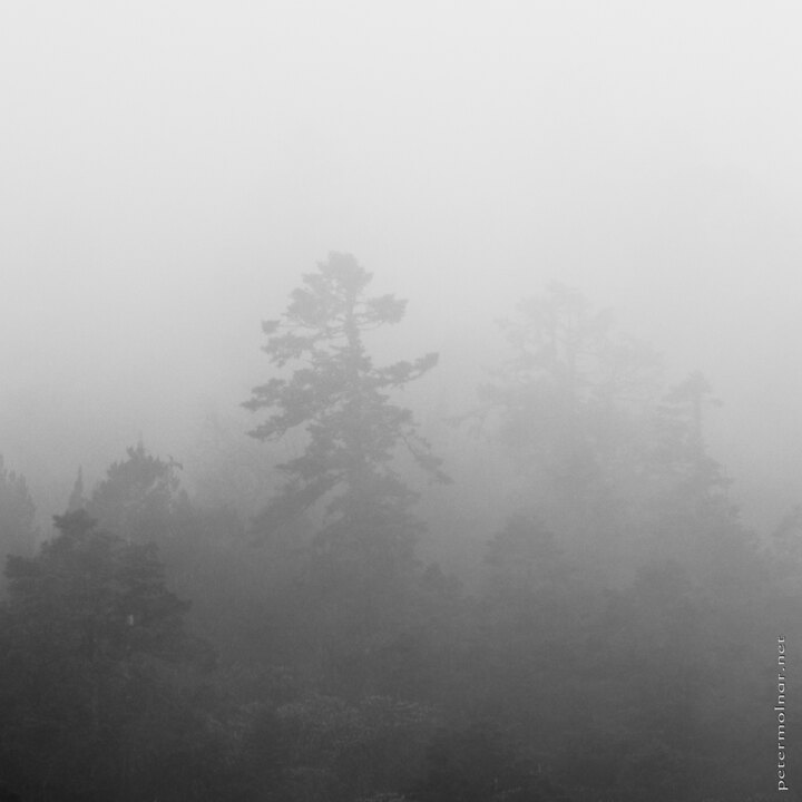 B&W - pines in the mist