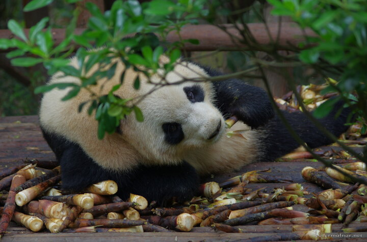 Be patient with pandas - you are totally secondary compared to food. If you are patient enough, you can exchange looks for a moment.