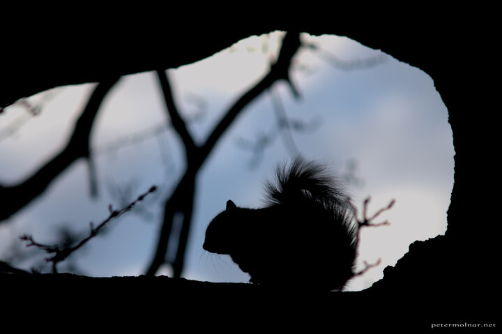 squirrel-silhouette