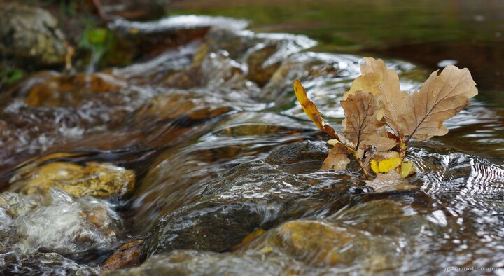Stream with oak leaves