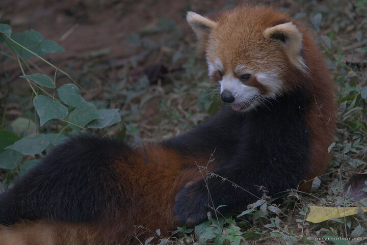 chengdu_panda_red_02