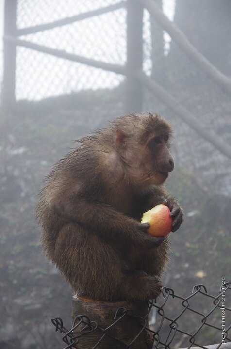 Wet monkey with and apple at Mount Emei