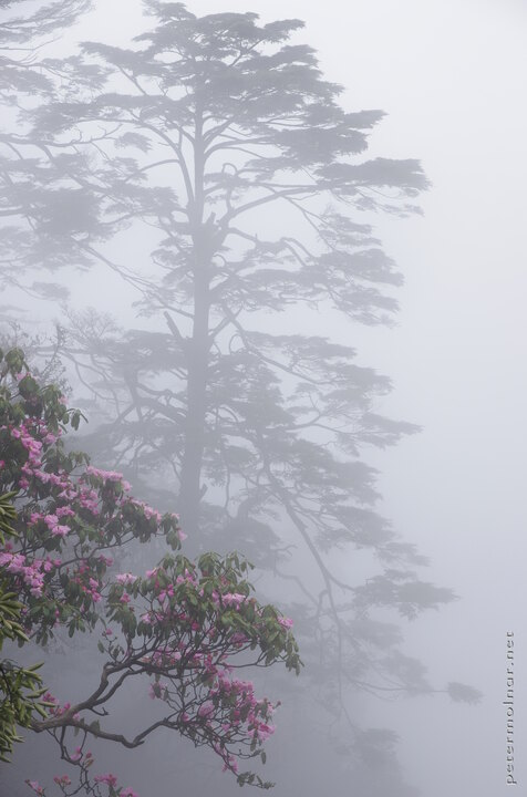 The thick fog is useful to create Chinese painting-like photos of flowers and pines at Mount Emei
