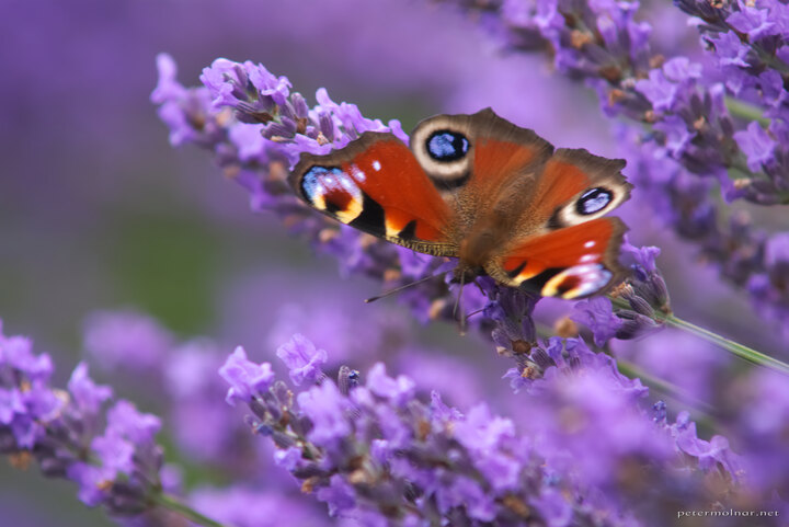 norfolk-lavender-european-peacock-butterfly